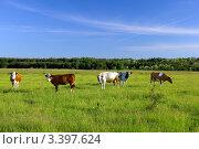 Купить «Коровы на зелёном пастбище», фото № 3397624, снято 27 мая 2011 г. (c) Sea Wave / Фотобанк Лори