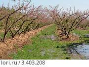 Цветущий сад, Прованс. Франция. Стоковое фото, фотограф Кудрявцева Светлана / Фотобанк Лори
