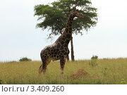 Жираф в саванне (2011 год). Стоковое фото, фотограф VASYL STOYKA / Фотобанк Лори