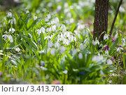 Купить «Подснежники в солнечном лесу (Подснежник складчатый. Galanthus plicatus)», фото № 3413704, снято 2 апреля 2012 г. (c) Ирина Яровая / Фотобанк Лори
