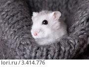 Купить «Белый хомяк сидит в сером вязаном шарфе», фото № 3414776, снято 26 марта 2012 г. (c) Irina Danilova / Фотобанк Лори