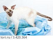 Купить «Сиамская кошка стоит на голубой ткани», фото № 3420364, снято 10 марта 2012 г. (c) Сергей Дубров / Фотобанк Лори