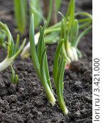 Купить «Зеленый лук на грядке», фото № 3421000, снято 8 апреля 2012 г. (c) Константин Босов / Фотобанк Лори