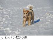 Купить «Маленькая собачка бегает по снегу», эксклюзивное фото № 3423068, снято 26 марта 2012 г. (c) lana1501 / Фотобанк Лори