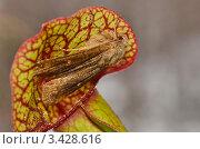 Купить «Мотылёк попал в ловушку насекомоядной Саррацении пурпурной (Sarracenia purpurea)», эксклюзивное фото № 3428616, снято 25 августа 2019 г. (c) Елена Коромыслова / Фотобанк Лори