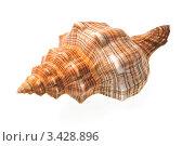 Купить «Морская раковина на белом фоне», фото № 3428896, снято 6 апреля 2011 г. (c) Денис Ларкин / Фотобанк Лори
