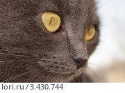 Портрет кошки породы русская голубая крупным планом. Стоковое фото, фотограф Лев Соловьев / Фотобанк Лори