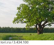 Купить «Старый ветвистый дуб на поле», фото № 3434100, снято 3 апреля 2020 г. (c) Максим Судаков / Фотобанк Лори
