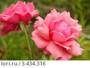 Купить «Розовая роза в саду», фото № 3434316, снято 9 августа 2009 г. (c) Natalya Sidorova / Фотобанк Лори
