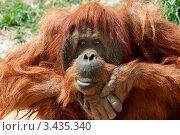 Купить «Орангутанг», фото № 3435340, снято 7 апреля 2012 г. (c) Татьяна Белова / Фотобанк Лори