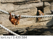 Купить «Молодой суматранский орангутан на канате в Московском зоопарке (Sumatran orangutan, Pongo pygmaeus abelii)», эксклюзивное фото № 3439584, снято 11 мая 2008 г. (c) Щеголева Ольга / Фотобанк Лори