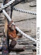Купить «Суматранский орангутан (Sumatran orangutan, Pongo pygmaeus abelii)», эксклюзивное фото № 3439716, снято 11 мая 2008 г. (c) Щеголева Ольга / Фотобанк Лори