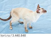 Купить «Сиамская кошка стоит на голубой ткани», фото № 3440848, снято 10 марта 2012 г. (c) Сергей Дубров / Фотобанк Лори