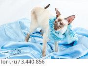 Купить «Сиамская кошка с повязанным платком стоит на голубой ткани», фото № 3440856, снято 10 марта 2012 г. (c) Сергей Дубров / Фотобанк Лори