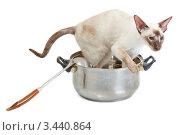 Купить «Сиамская кошка сидит в большой кастрюле», фото № 3440864, снято 10 марта 2012 г. (c) Сергей Дубров / Фотобанк Лори