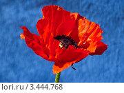Красный мак на синем фоне. Стоковое фото, фотограф Николай Белин / Фотобанк Лори