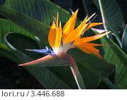 Экзотический цветок с острова Тенерифе. Канарские острова. Стоковое фото, фотограф Константин Хрипунков / Фотобанк Лори