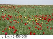 Купить «Дикие тюльпаны в весенней степи», фото № 3456608, снято 21 апреля 2010 г. (c) Дмитрий Коган / Фотобанк Лори