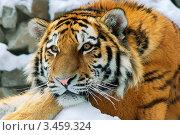 Амурский тигр в Новосибирском зоопарке. Стоковое фото, фотограф Владимир Логутенко / Фотобанк Лори
