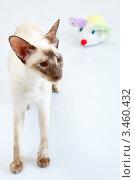 Купить «Сиамская кошка играет с плюшевой мышкой», фото № 3460432, снято 10 марта 2012 г. (c) Сергей Дубров / Фотобанк Лори