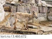 Купить «Горные козы», фото № 3460672, снято 21 апреля 2012 г. (c) Бондаренко Олеся / Фотобанк Лори