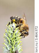 Купить «Пчела собирает нектар на распустившейся почке ивы», эксклюзивное фото № 3464972, снято 23 апреля 2012 г. (c) Елена Коромыслова / Фотобанк Лори