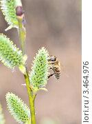 Купить «Пчела собирает нектар на распустившейся почке ивы», эксклюзивное фото № 3464976, снято 23 апреля 2012 г. (c) Елена Коромыслова / Фотобанк Лори