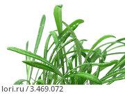 Зеленая трава в каплях росы на белом фоне. Стоковое фото, фотограф Кардашева Ирина Александровна / Фотобанк Лори