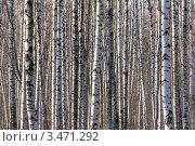Березовый лес. Стоковое фото, фотограф Владимир Арефьев / Фотобанк Лори