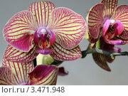Три цветка желто-розовой полосатой орхидеи на ветке крупным планом. Стоковое фото, фотограф Ершова Дора Владимировна / Фотобанк Лори