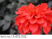 Красный георгин. Стоковое фото, фотограф Яблонских Татьяна / Фотобанк Лори