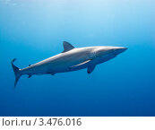 Купить «Шёлковая акула, или флоридская акула, или широкоротая акула (Silky shark / Carcharhinus falciformis)», фото № 3476016, снято 13 декабря 2011 г. (c) Сергей Дубров / Фотобанк Лори