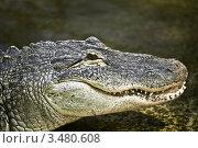 Купить «Морда крокодила», фото № 3480608, снято 23 апреля 2012 г. (c) Наталья Волкова / Фотобанк Лори