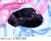 Купить «Новорожденные щенки йоркширского терьера», фото № 3480960, снято 12 августа 2010 г. (c) Ирина Игумнова / Фотобанк Лори