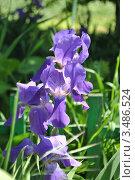 Купить «Цветы ириса», фото № 3486524, снято 3 мая 2012 г. (c) Елена Стрильчук / Фотобанк Лори