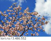 Купить «Цветущие ветви сакуры на фоне синего неба и белого облака», фото № 3486552, снято 30 апреля 2012 г. (c) Fro / Фотобанк Лори