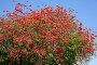 Цветущее коралловое дерево. Erythrina corallodendron, фото № 3487584, снято 15 апреля 2012 г. (c) Наталья Волкова / Фотобанк Лори