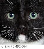 Купить «Портрет черно-белой кошки», фото № 3492064, снято 1 октября 2010 г. (c) Дмитрий Наумов / Фотобанк Лори