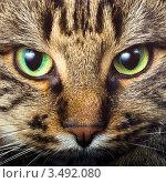 Купить «Морда сибирской кошки крупным планом», фото № 3492080, снято 18 декабря 2007 г. (c) Дмитрий Наумов / Фотобанк Лори