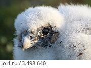 Купить «Птенец сапсана», фото № 3498640, снято 25 июля 2011 г. (c) Лия Покровская / Фотобанк Лори
