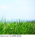 Купить «Зеленая трава крупным планом на фоне голубого неба», фото № 3499824, снято 19 апреля 2010 г. (c) Иван Михайлов / Фотобанк Лори