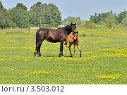 Купить «Лошадь и жеребенок на поле», фото № 3503012, снято 2 мая 2012 г. (c) Julia Ovchinnikova / Фотобанк Лори