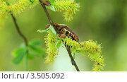 Купить «Майский жук на весенней листве», видеоролик № 3505092, снято 2 мая 2012 г. (c) ILLYCH / Фотобанк Лори