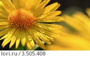 Купить «Желтая ромашка с каплями росы», видеоролик № 3505408, снято 5 мая 2012 г. (c) ILLYCH / Фотобанк Лори