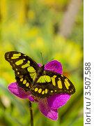 Бабочка Siproeta stelenes на цветке орхидеи. Стоковое фото, фотограф Александр Высоких / Фотобанк Лори