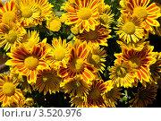 Купить «Хризантема», фото № 3520976, снято 5 июля 2009 г. (c) Павлов Данил Сергеевич / Фотобанк Лори
