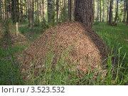 Муравейник в лесу. Стоковое фото, фотограф Павел Михеев / Фотобанк Лори