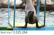 Купить «Морской котик на бортике», видеоролик № 3525284, снято 2 сентября 2008 г. (c) Losevsky Pavel / Фотобанк Лори