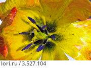Желтый тюльпан (крупный план) Стоковое фото, фотограф Игорь Митов / Фотобанк Лори