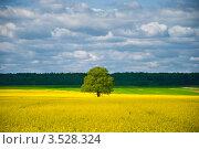 Одинокое дерево на рапсовом поле. Стоковое фото, фотограф Ольга Ларина / Фотобанк Лори
